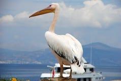 Pélican de Mykonos, Grèce Photo stock