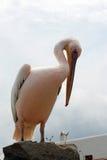 Pélican de Mykonos, Grèce Image stock