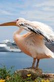 Pélican de Mykonos, Grèce Photographie stock libre de droits