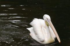 Pélican de natation Photo libre de droits