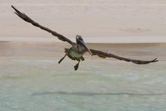 Pélican de vol Photos libres de droits
