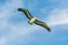 Pélican de vol Photographie stock libre de droits
