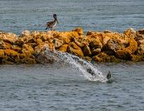 Pélican Dive Bombing photo stock