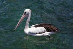 Pélican en eau de mer, Kiama, Australie Photographie stock