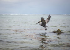 Pélican en vol Photo libre de droits