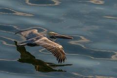 Pélican en vol photos libres de droits