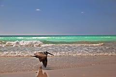 Pélican en vol sur la plage Photographie stock libre de droits
