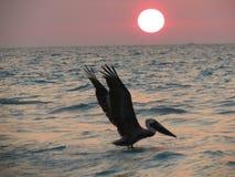 Pélican et le soleil Photographie stock libre de droits