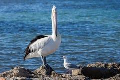 Pélican et mouette australiens sur le bord de la mer Photo stock