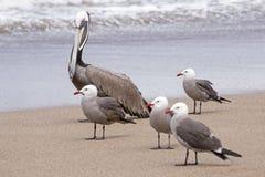 Pélican et mouettes par le bord de la mer Photo stock