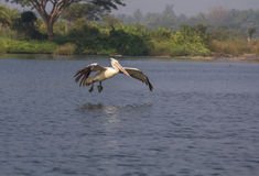 Pélican fying près de l'eau Photos libres de droits