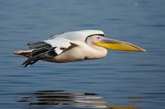 Pélican glissant au-dessus de l'eau Image stock