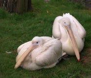Pélican mâle et femelle Image libre de droits