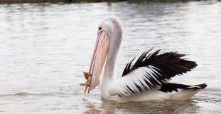 Pélican mangeant des poissons dans l'océan Photographie stock libre de droits