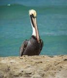 Pélican marchant sur la plage Photos stock