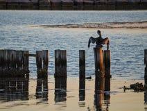 Pélican observant la baie Photographie stock libre de droits
