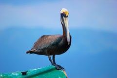 Pélican/oiseau de Brown Photographie stock