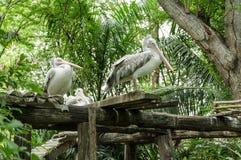 Pélican, philippensis de pelecanus, dans le zoo Photo stock