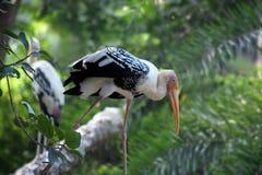 Pélican posé avec une promenade simple de jambe photos stock
