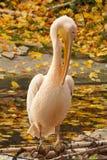 Pélican rose se reposant sur le logarithme naturel Photos libres de droits