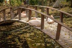 Pélican rose se reposant sur un pont en bois à travers le lac dans l'a Images libres de droits