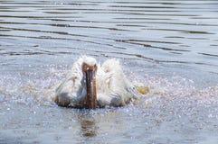 Pélican se lavant dans l'eau Images stock