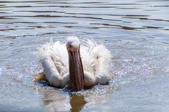 Pélican se lavant dans l'eau Image stock