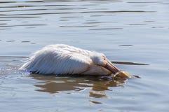 Pélican se lavant dans l'eau Photo libre de droits