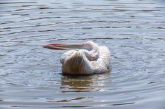 Pélican se lavant dans l'eau Photographie stock libre de droits