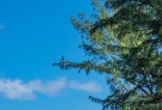 Pélican sur la patrouille dans le pin photographie stock