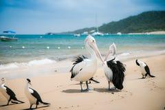 Pélican sur la plage, île de Moreton, Australie photographie stock libre de droits