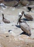Pélican sur la plage Photo stock