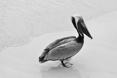 Pélican sur la plage Image libre de droits
