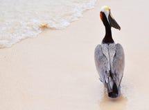 Pélican sur la plage Photos libres de droits