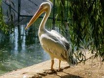 Pélican sur le rivage du lac photos stock