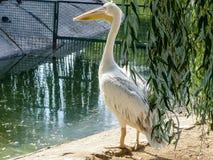 Pélican sur le rivage du lac photos libres de droits
