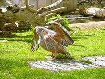 Pélican sur un parc zoologique photos libres de droits