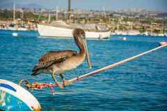 Pélican sur une corde Photographie stock libre de droits