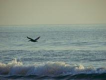 Pélican volant au-dessus de l'océan Photographie stock