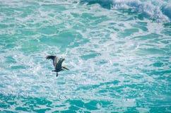 Pélican volant au-dessus de la mer cariibean du Mexique photographie stock libre de droits