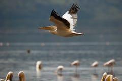 Pélican volant au-dessus du lac Photo stock