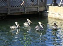 Pélicans à Key West Photographie stock libre de droits