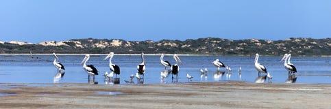 Pélicans à l'intérieur de la mer Photographie stock libre de droits