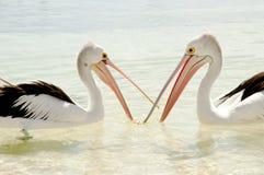 Pélicans - île de Rottnest - Australie Images libres de droits