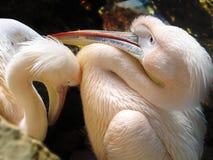 Pélicans Photographie stock libre de droits