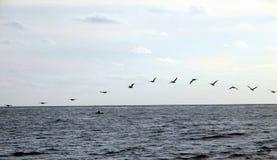 Pélicans au-dessus du Pacifique Image libre de droits
