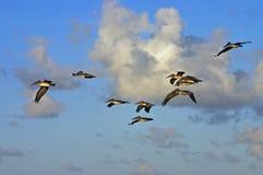 Pélicans au lever de soleil Photo stock