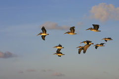 Pélicans au lever de soleil Photographie stock