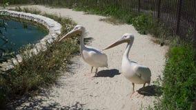 Pélicans au zoo clips vidéos