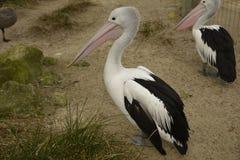 Pélicans au zoo d'Adelaïde Image libre de droits